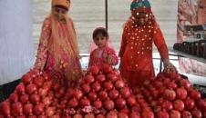 برداشت انار از مزارع شهرضا/تصاویر