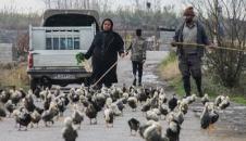پرورش غاز و اردک در مازندران/تصاویر
