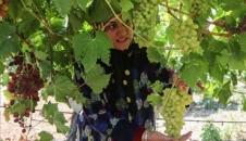فصل برداشت انگور در ارومیه+ تصاویر