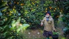 تصاویر/ برداشت پرتقال در گلستان