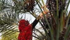 برداشت خرما از روستای کنارو بندرعباس/تصاویر