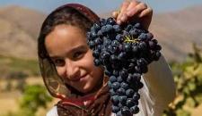 برداشت انگور سیاه از باغات استان کردستان/تصاویر