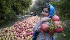 برداشت انار از روستای انبوه رودبار گیلان+ تصاویر