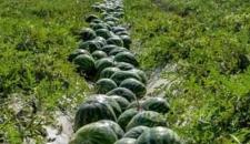 برداشت هندوانه در استان هرمزگان/تصاویر