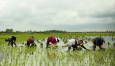 فصل نشاء برنج در مازندارن/تصاویر