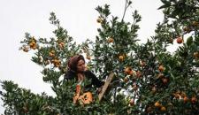 برداشت و ذخیره سازی مرکبات در روستاهای مازندران/تصاویر